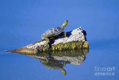 Photograph - Western Painted Turtle by Martha Marks