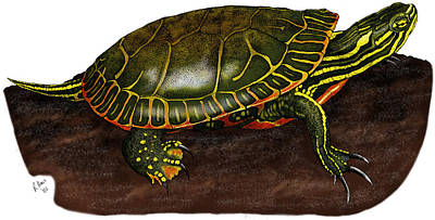 Painted Turtle Photograph - Western Painted Turtle by Roger Hall