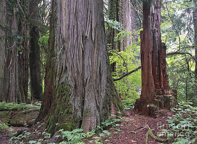 Red Cedar Photograph - Western Red Cedar Grove by Tim Fitzharris