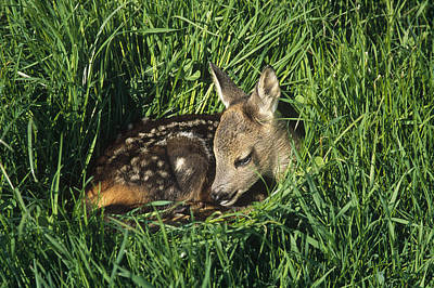 Photograph - Western Roe Deer Fawn Resting by Konrad Wothe