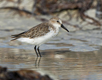 Photograph - Western Sandpiper by Mike Fitzgerald