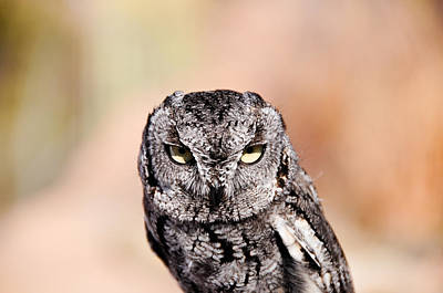 Photograph - Western Screech Owl by Bonnie Fink