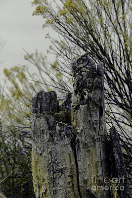 Western Screech Owl Art Print
