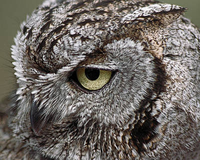Photograph - Western Screech Owl by Theo OConnor