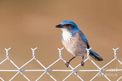 Photograph - Western Scrub-jay I by Clarence Holmes