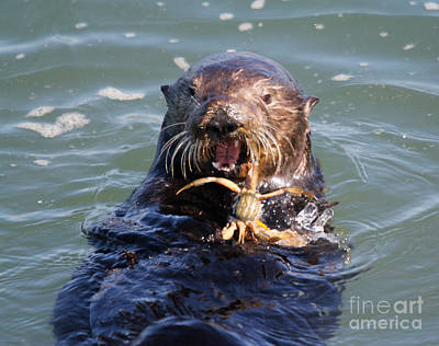 Otter Photograph - Western Sea Otter Eatting by George Battersby