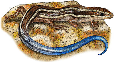 Photograph - Western Skink by Roger Hall