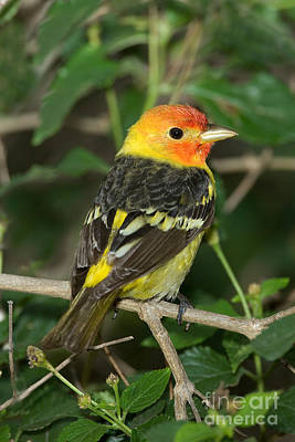 Western Tanager Photograph - Western Tanager by Anthony Mercieca