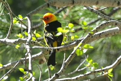 Photograph - Western Tanager - Black Back by Marilyn Burton