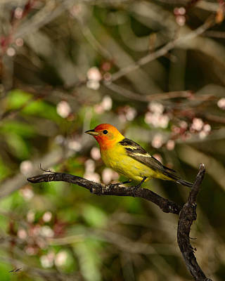 Western Tanager Photograph - Western Tanager by Christopher Balmer
