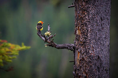 Western Tanager Photograph - Western Tanager by Dave Walsh