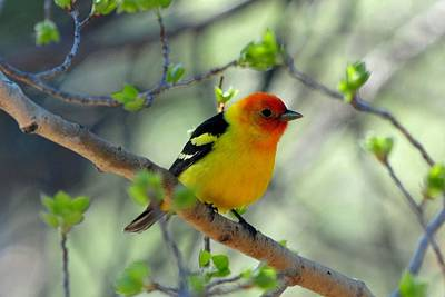 Photograph - Western Tanager by Marilyn Burton