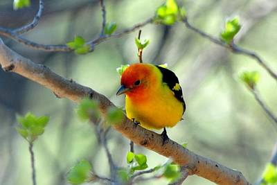 Photograph - Western Tanager On Aspen by Marilyn Burton