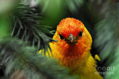 Photograph - Western Tanager by Sam Rosen