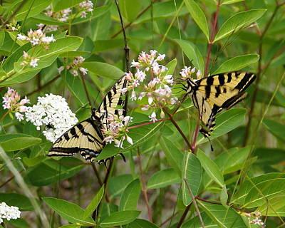 Western Tiger Swallowtail Butterflies Original