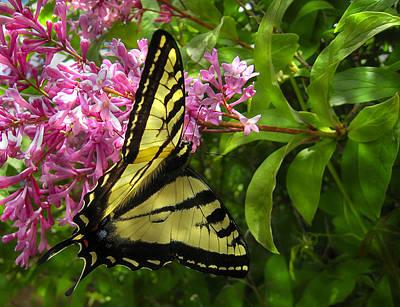 Butterflys Photograph - Western Tiger Swallowtail Butterfly 2 by Daniel Hagerman