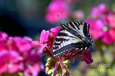 Photograph - Western Tiger Swallowtail Butterfly On Geranium by Sharon Talson