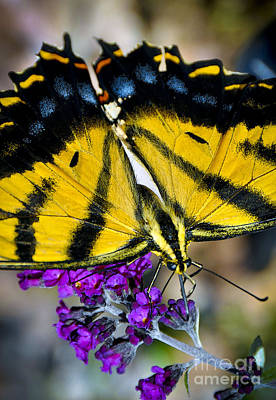 Photograph - Western Tiger Swallowtail  by Gina Savage