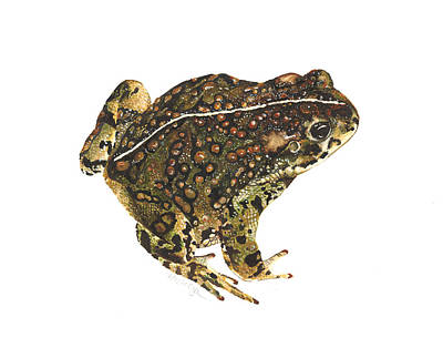 Painting - Western Toad by Cindy Hitchcock