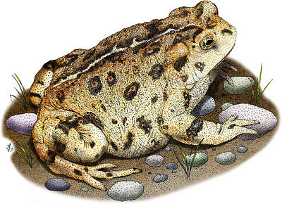 Photograph - Western Toad by Roger Hall