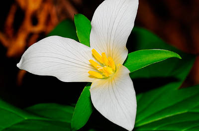 Photograph - Western White Trillium by Bonnie Fink