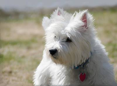 Cute Dog Digital Art - Westie In The Spring by Debra Baldwin