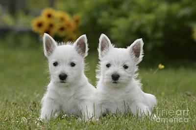 Westie Puppies Art Print by Rolf Kopfle