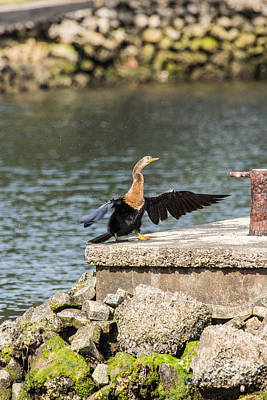 Photograph - Wet Anhinga by Terry Cotton