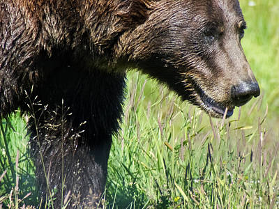 Brown Bear Photograph - Wet Bear by Dora Miller