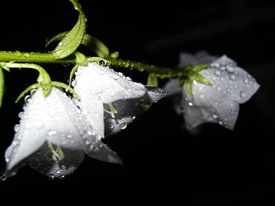 Photograph - Wet Bells by Tarey Potter