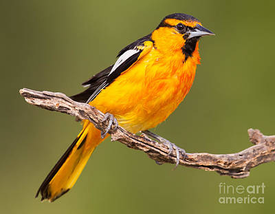 Oriole Digital Art - Wet Bullock's Oriole by Jerry Fornarotto