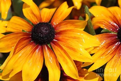 Photograph - Black Eyed Susies Shimmer by Cathy  Beharriell
