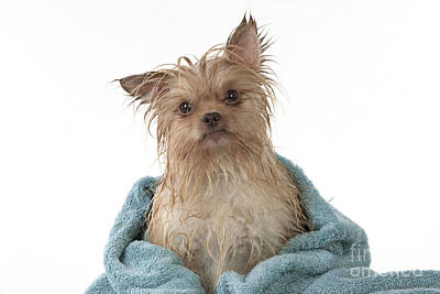 Pet Care Photograph - Wet Chihuahua by John Daniels