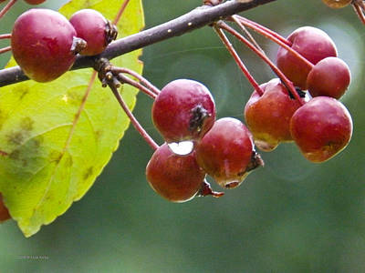 Photograph - Wet Crab Apples by Nick Kirby
