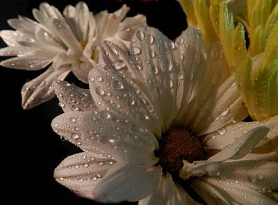 Photograph - Wet Daisies by Grace Dillon