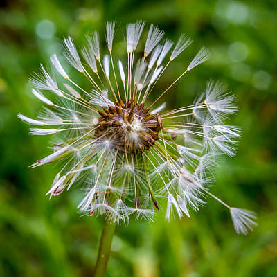 Art Print featuring the photograph Wet Dandelion. by Gary Gillette