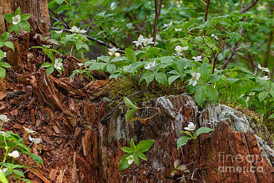 Photograph - Wet Dogwood by Charles Kozierok