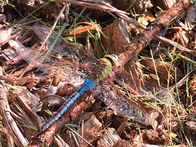 Photograph - Wet Dragonfly by Teresa Cox
