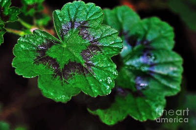 Photograph - Wet Geranium Leaves by Kaye Menner