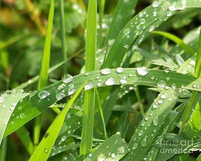 Drippy Photograph - Wet Grass by Laurie Klein