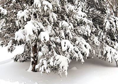 Photograph - Wet Heavy Snow On Pines by Janice Drew