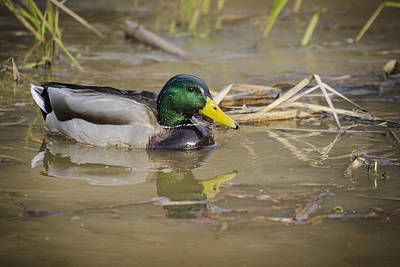 Photograph - Wet Mallard by Bradley Clay