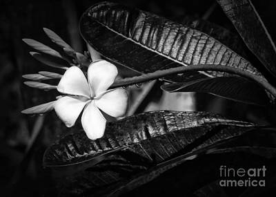 Photograph - Wet Plumeria Flower by Sabrina L Ryan