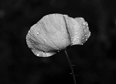 Wet Poppy  Art Print