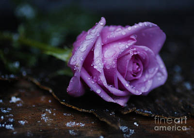 Wet Rose Art Print by Jonathan Welch