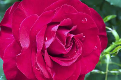 Photograph - Wet Rose by Kenneth Feliciano