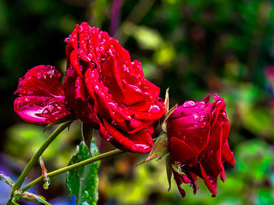 Photograph - Wet Rose by Leif Sohlman