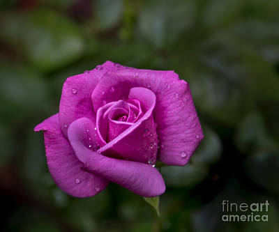Wet Rose Art Print