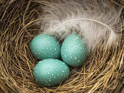Photograph - Wet Trio Of Robins Eggs by Jean Noren