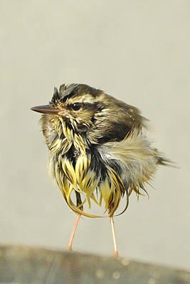 Photograph - Wet Warbler by Bradford Martin